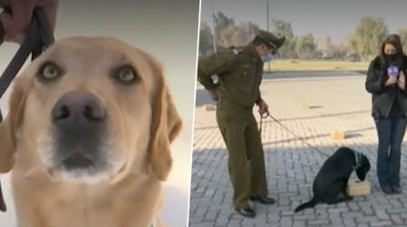 """Perros """"héroes"""" de Carabineros podrán detectar a personas con Covid-19"""