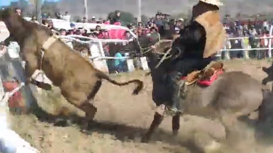 Video muestra a novillo escapando de un rodeo y saltando sobre el público en Huasco