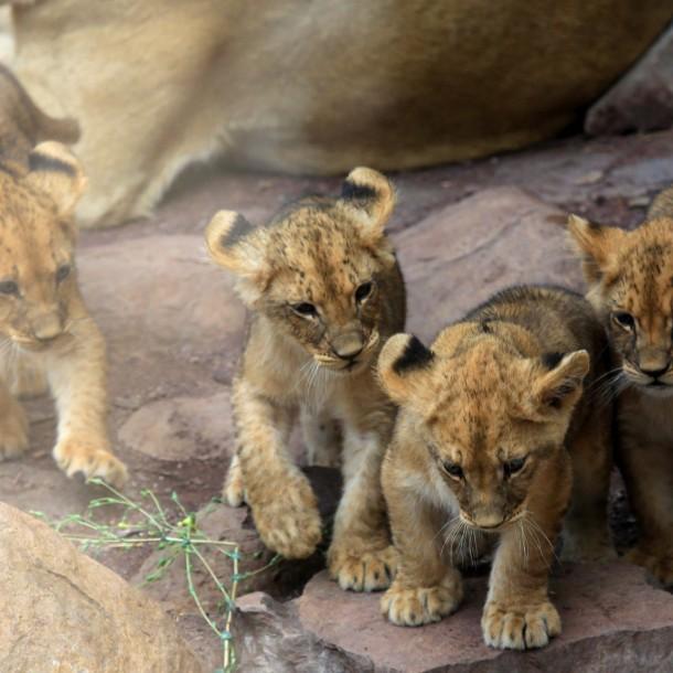 Conoce a los cuatro cachorros de león que nacieron en el Zoológico Metropolitano