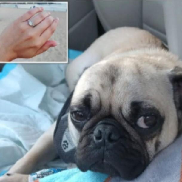 Perro se come anillo de bodas y es sometido a una endoscopia para salvar su vida