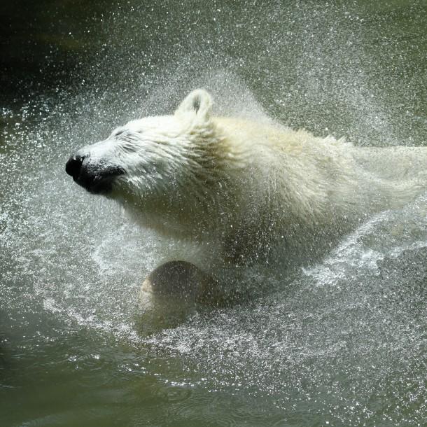Cambio climático: Científicos sostienen que aumenta el canibalismo entre los osos polares