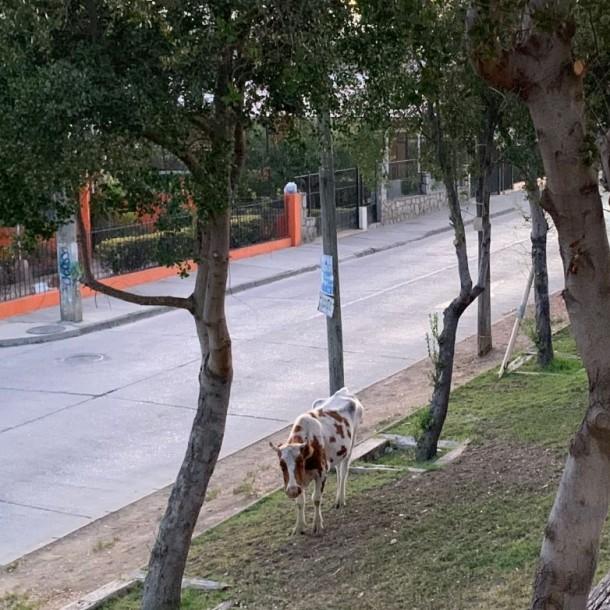 Vacas se toman las calles de Quilpué en medio del toque de queda