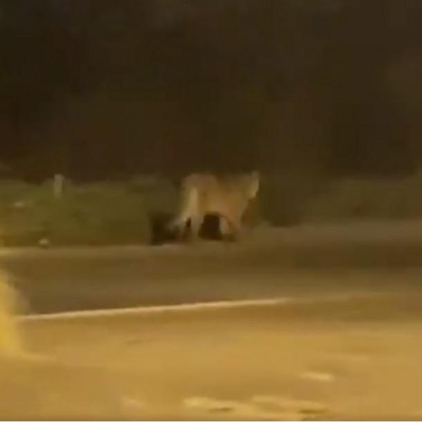 SAG inicia operativo tras el avistamiento de un puma en Chicureo