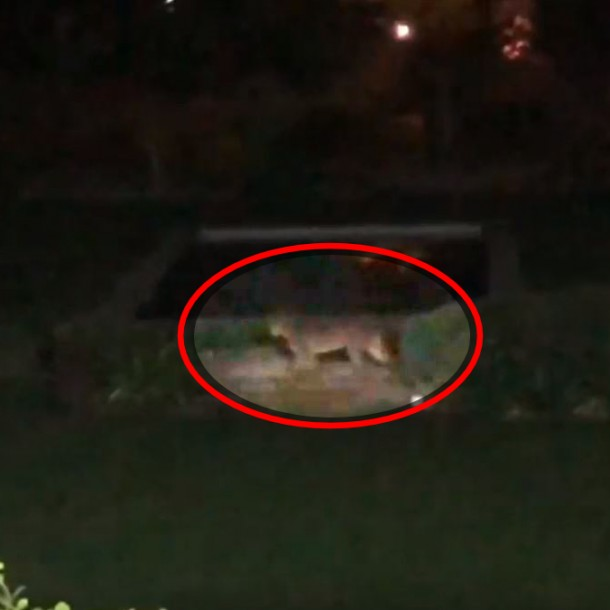 Personal del SAG realizó operativo tras nuevo avistamiento de puma en Chicureo