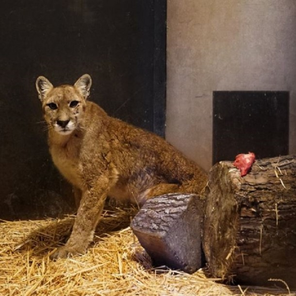 Puma que fue rescatada en Chicureo presenta múltiples lesiones y deshidratación
