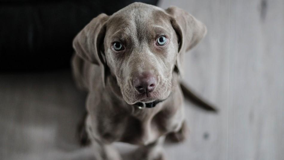 ¿Cuántos años tiene mi mascota? Conoce hasta que edad viven los perros según su tamaño y raza