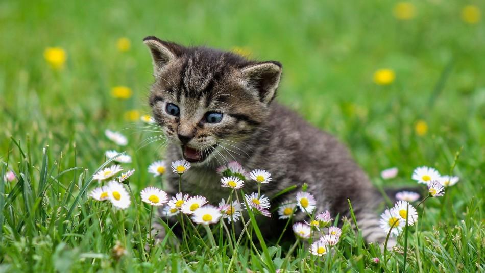 Mordiscos y ronroneo: Estas son las demostraciones de cariño de los gatos