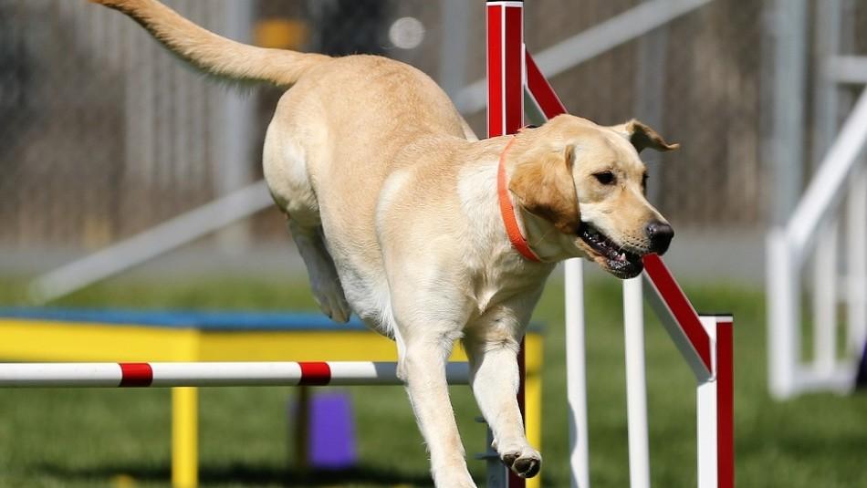 Estas son las tres razas de perros más populares según la federación canina más grande del mundo